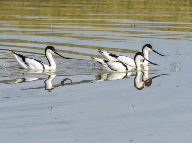 Adult pied avocets (Recurvirostra avosetta) feeding at a water hole in Ngorongoro Crater, Tanzania, East Africa, Africa