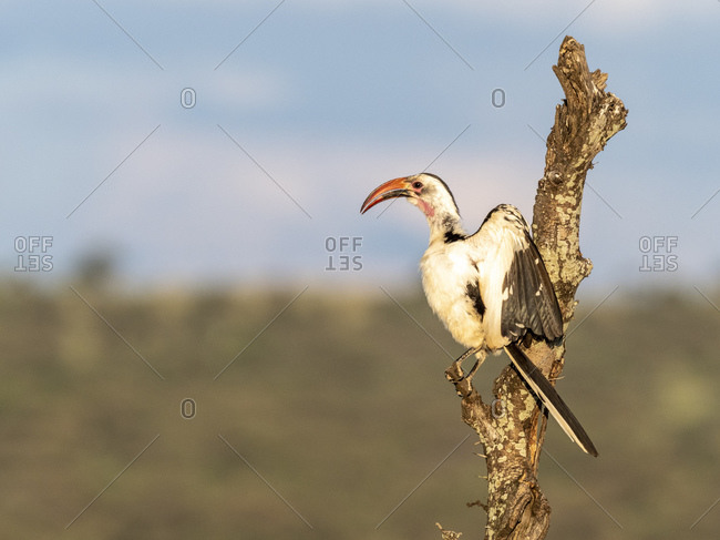 An adult Tanzanian red-billed hornbill (Tockus ruahae), Tarangire National Park, Tanzania, East Africa, Africa