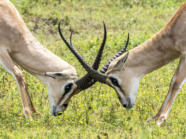 Adult male Grant's gazelles (Nanger granti) sparring inside Ngorongoro Crater, Tanzania, East Africa, Africa