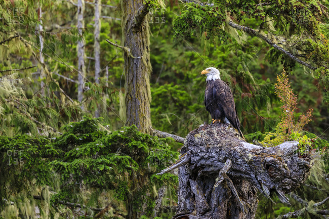 Bald Eagle (Haliaeetus leucocephalus), in a forest setting, Alert Bay, Inside Passage, British Columbia, Canada, North America