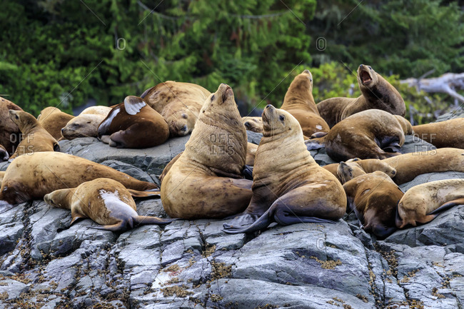 Steller sea lions (Eumetopias jubatus) on a rocky shore, Alert Bay, Inside Passage, British Columbia, Canada, North America
