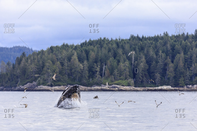 Humpback whale (Megaptera novaeangliae), feeding at the surface, Alert Bay, Inside Passage, British Columbia, Canada, North America