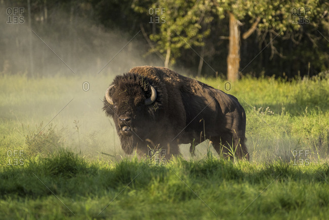 Wild male plains bison during the mating season, Elk Island National Park, Alberta, Canada, North America