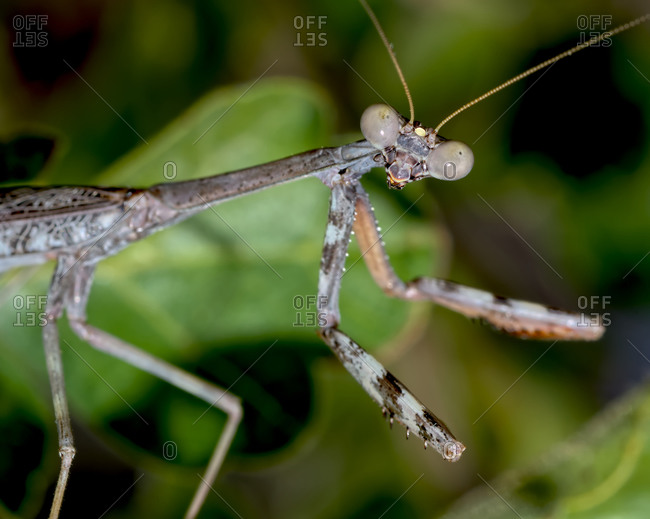 Closeup of a male Praying Mantis native to Arizona on the hunt for a female, Arizona, United States of America, North America