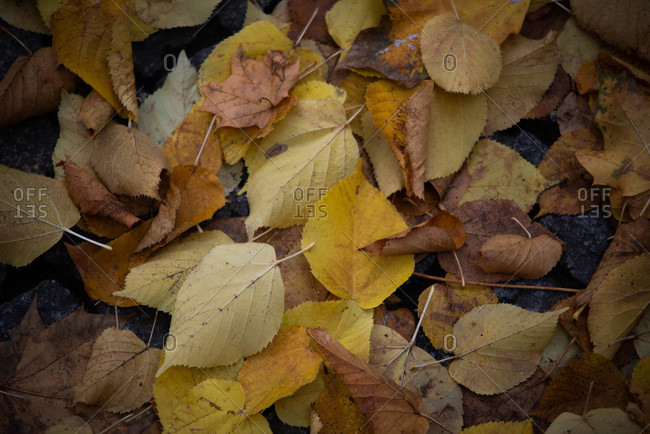 Fallen brown and yellow leaves on the ground