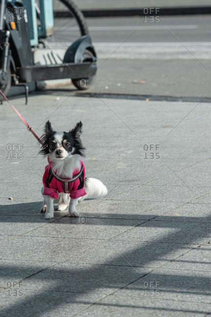 Little black and white Chihuahua wearing a pink outfit while on a walk in the city