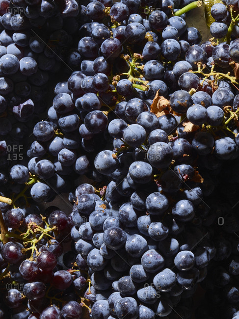 Close up of black and red grapes for wine making
