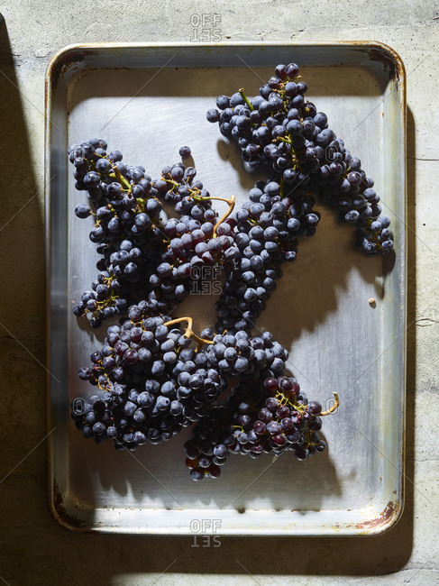 Black grapes for wine making on a metal tray