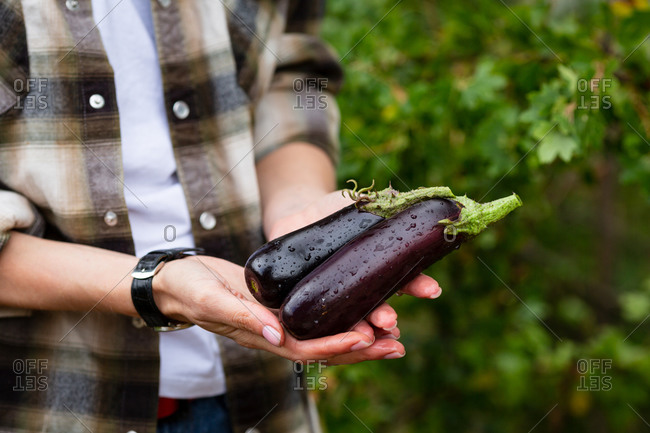 Woman's hands holding fresh eggplants