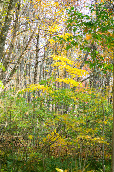 Green and yellow leaves on trees in a forest in rural Connecticut