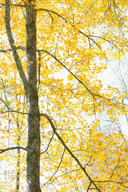 Yellow leaves on a tree in a forest in rural Connecticut