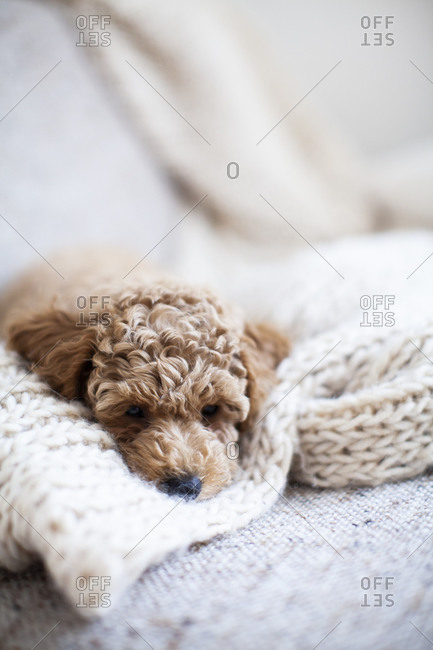 An apricot poodle puppy napping on a white knit blanket