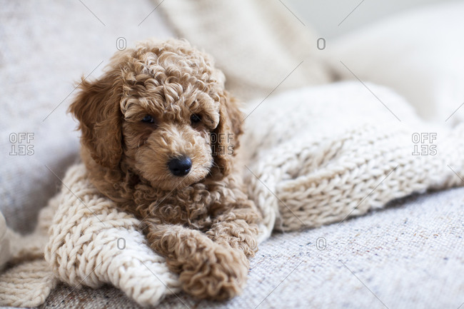 An apricot poodle puppy sitting down on a white knit blanket