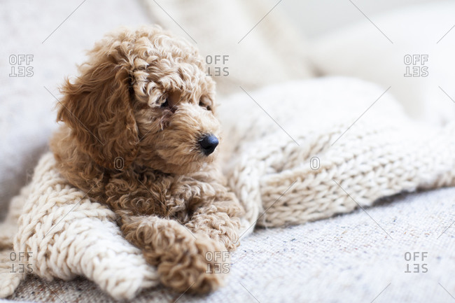An apricot poodle puppy sitting down on a white knit blanket looking away