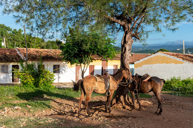 Horses tied to a tree in the outskirts of Trinidad, Cuba
