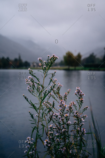 Beautiful purple flowers on the shore of a lake on a moody day in Pyrenees
