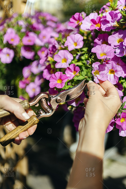 Unrecognized person working in plant nursery and using gardening scissors.