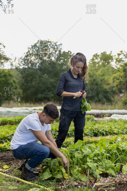 Couple checking beetroots at vegetable patch