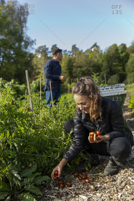 Woman picking tomatoes on vegetable patch