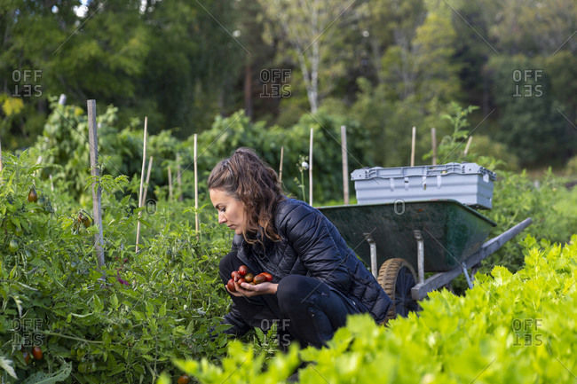 Woman on vegetable patch picking tomatoes