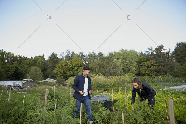Man and woman on vegetable patch picking fruits