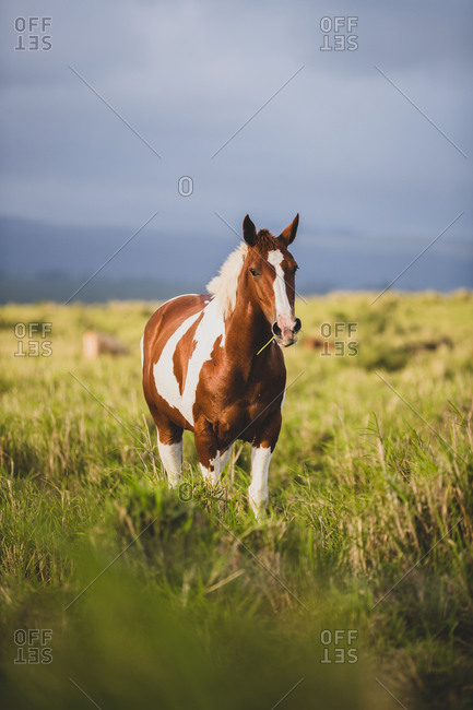 Brown and White Horse in a big on Big island of Hawaii