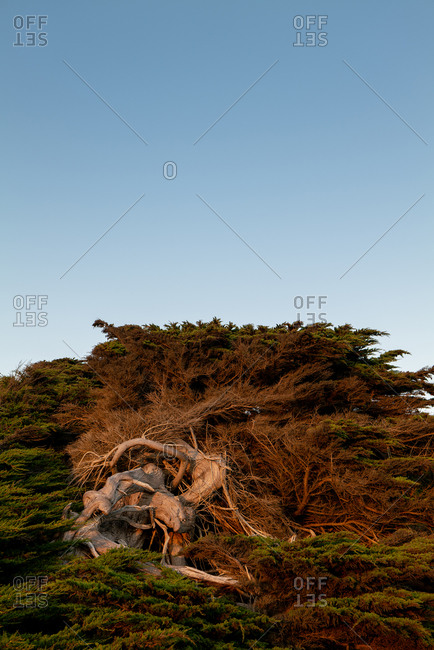 Setting sunlight falling on trunk and branches of Cypress tree