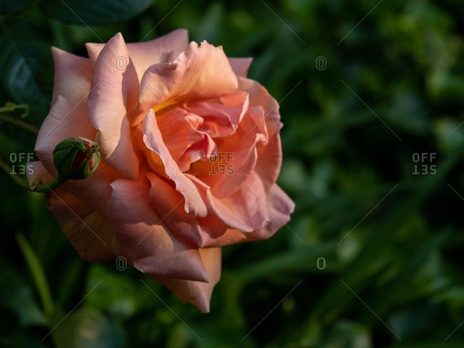 Rose in full bloom in green garden lit by warm sunlight