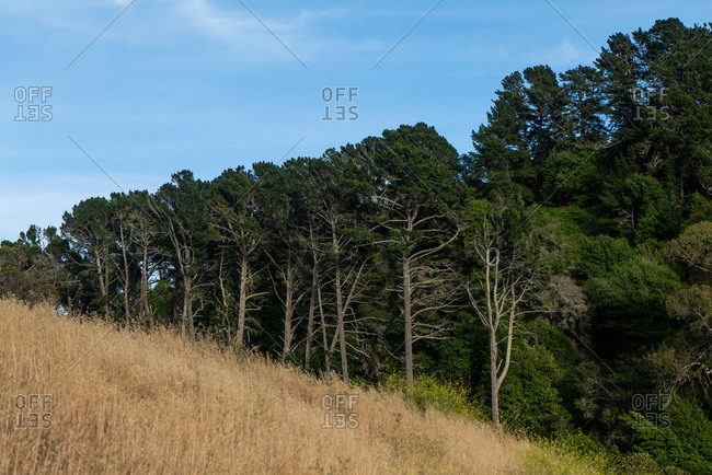 Hill covered in brown grass with line of different sized trees behind