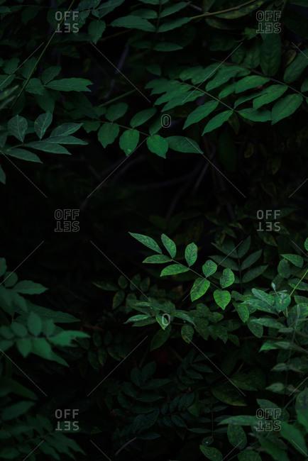 Fresh green leaves dark background