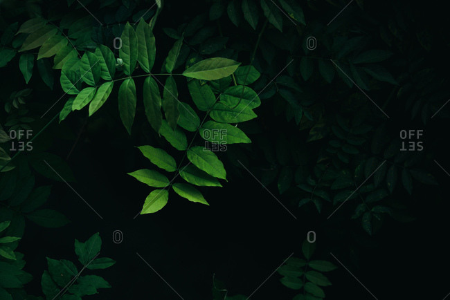 Close up bright green leaves with dark forest leaves background