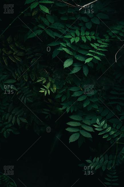 Dark green leaves bushes background