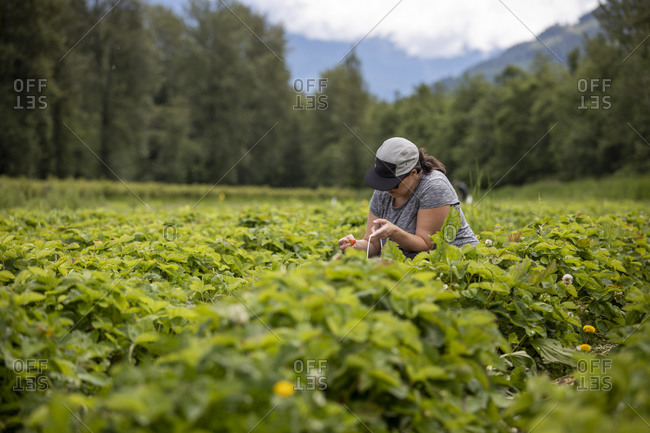 Pregnant woman picking strawberries on farm in countryside near forest