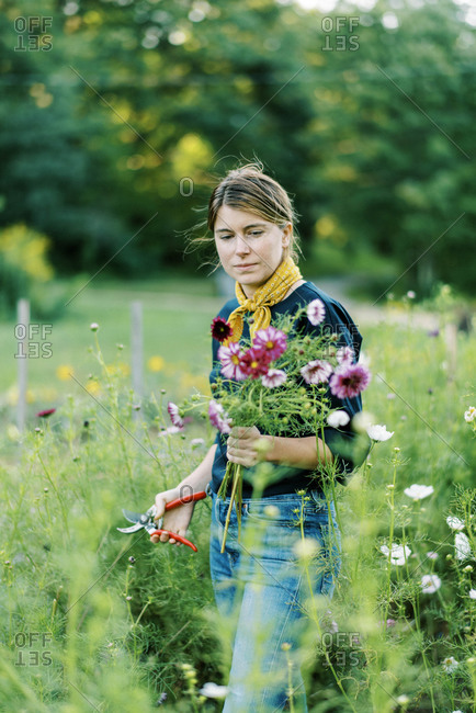 Millennial woman working at her flower farm collecting cosmos