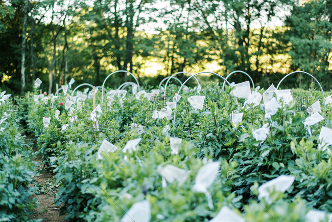 Photo of a bagged dahlia flowers on an organic farm