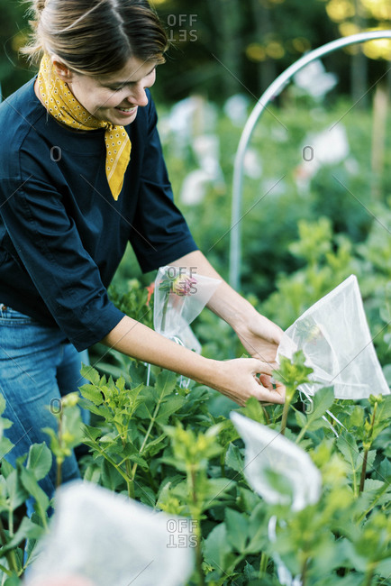 Photo of a woman bagging dahlia buds on her organic farm