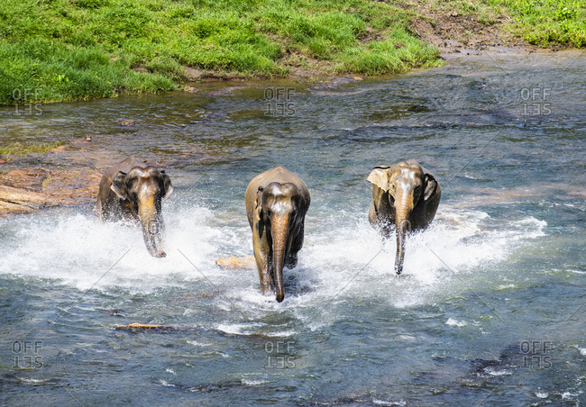 Three Asian elephant's running towards the camera in Pinnawala
