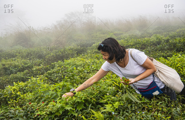 Woman picking wild strawberries in the highlands of Sri Lanka