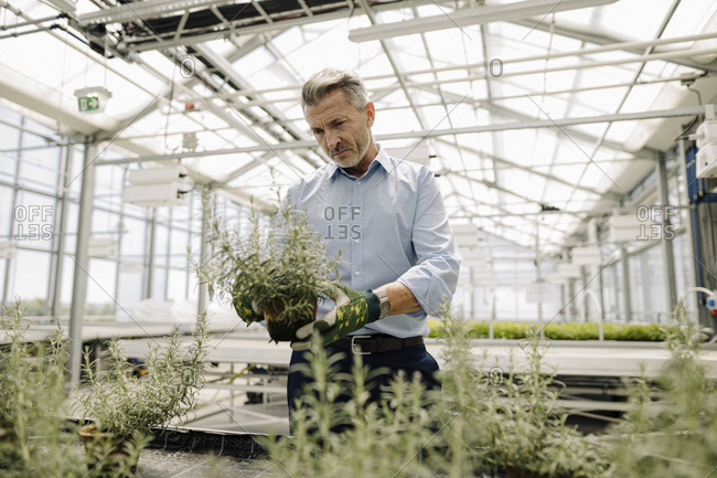 Male professional examining potted plants in greenhouse