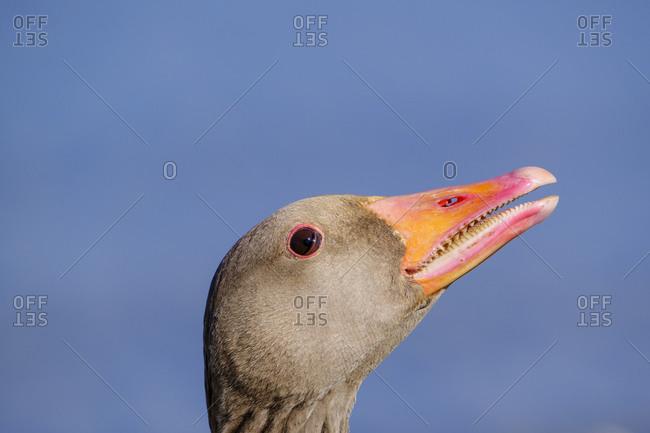 Headshot of greylag goose (Anser anser)