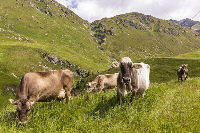 Cattle grazing in the grass in Swiss Alps