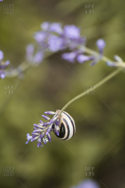 A snail on a lavender in a lavender field