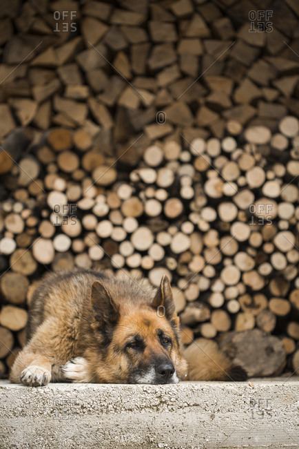A German Shepherd lying on the concrete in front of stacked firewood