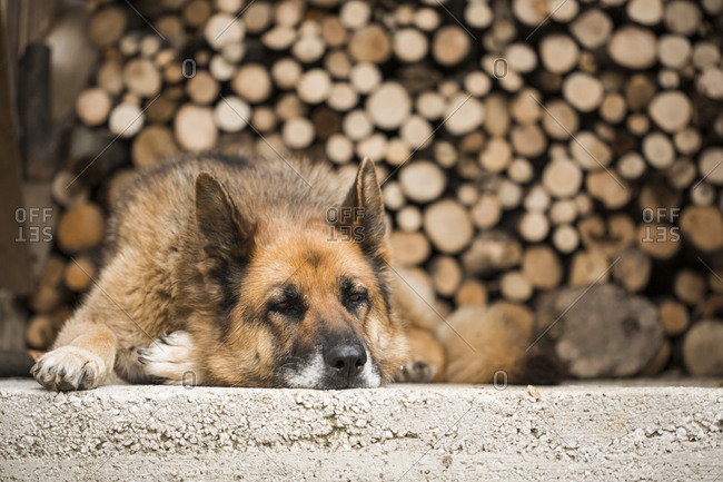 Close up of a German Shepherd lying on the concrete in front of stacked firewood