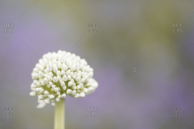 Onion flower in a lavender field extreme close up