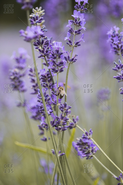 Bee on a lavender plant in a field at sunset close up