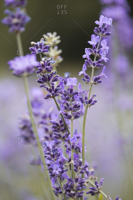 Vibrant lavender in a field at sunset close up