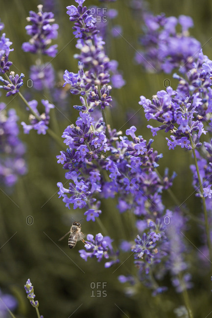 Honey bee flying by a lavender plant in a field at sunset close up