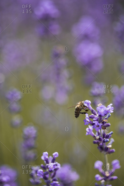 Honey bee collecting pollen and nectar from a lavender plant in a field at sunset close up