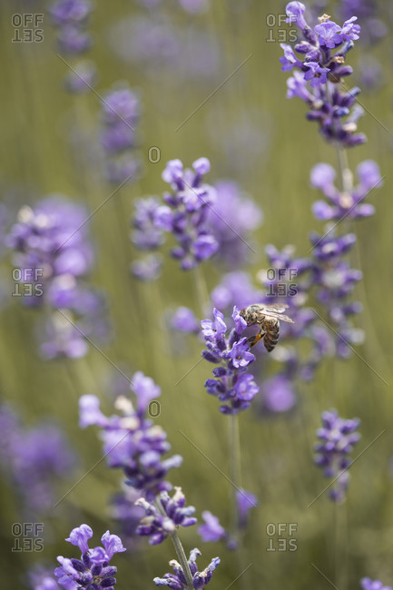 Bee collecting pollen and nectar from a lavender plant in a field at sunset close up